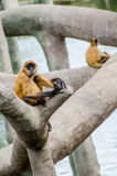 Black Handed Spider Monkey Royalty Free Stock Image