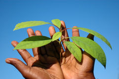 Black hands holding plant Stock Photos