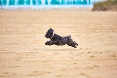 Black havanese dog playing on the beach Royalty Free Stock Photos