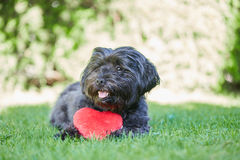Black havanese dog with red heart for Valentines day stock photo