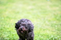 Black havanese dog running over the green grass Royalty Free Stock Photography