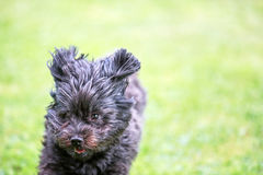 Black havanese dog running over the green grass Royalty Free Stock Photos