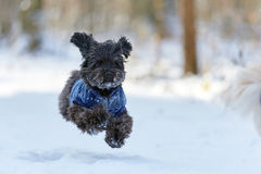 Black havanese dog in the snow running stock photography