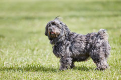 Black havanese dog standing in the green grass Stock Images