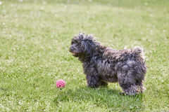 Black havanese dog standing in the green grass Royalty Free Stock Photo