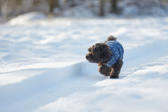 Black havanese dog walking in the snow Royalty Free Stock Images