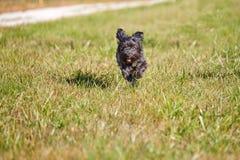 Black havanese dogs running on grass Stock Image
