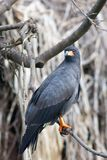Black Hawk Eagle Perched on Branch Royalty Free Stock Image
