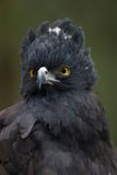 Black Hawk-Eagle (Spizaetus tyrannus) Royalty Free Stock Images