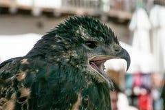 Black hawk with beak open. Black hawk with open beak, squawking to be tied Royalty Free Stock Photo