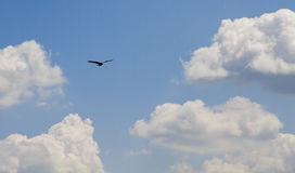 Black hawk Royalty Free Stock Photo