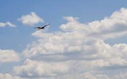 Black hawk Royalty Free Stock Images
