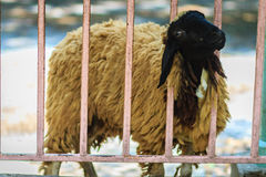 Black head and brown hair sheep during escape the cage fence. Stock Photography