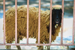 Black head and brown hair sheep during escape the cage fence. Royalty Free Stock Photo