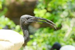 Black head ibis. The black-headed ibis or Oriental white ibis Stock Photos