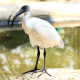 Black head ibis Royalty Free Stock Photography