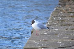 A black head seagull by the water royalty free stock image