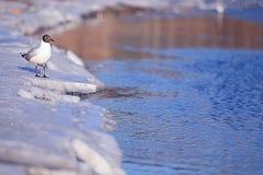 Black-head seagull walking near river Royalty Free Stock Photo