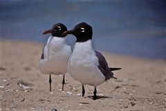 Black Head Seagulls in Ocean City Maryland Stock Images