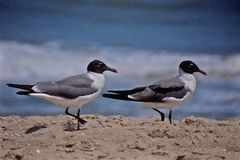 Black Head Seagulls walking on the beach Royalty Free Stock Photos