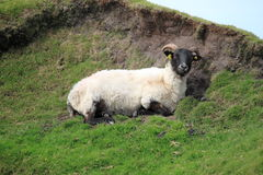 Black head sheep grazing on a green hill Stock Photography