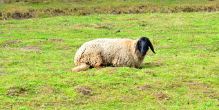 Black head Sheep Stock Photos