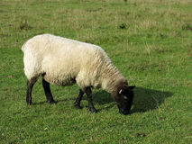 Black head sheep Stock Images
