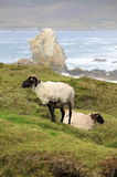 Black head sheeps grazing on a green hill Stock Image