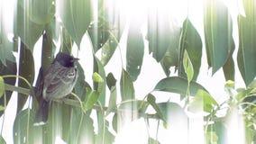 Black head sparrow stock footage