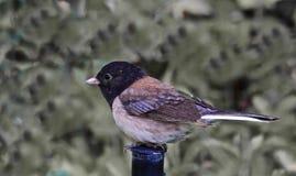 Bird. Black head tan grey feathered small bird side profile stock photo