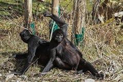 black-headed蜘蛛猴,蛛猴属fusciceps是蜘蛛猴的种类 免版税库存图片