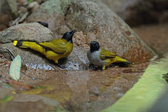 Black-headed Bulbul Royalty Free Stock Photography