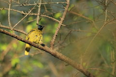 Black-headed bulbul Stock Photography