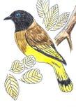 Black-headed Bulbul bird drawing Stock Photo