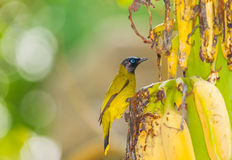 Black-headed Bulbul bird Royalty Free Stock Photography