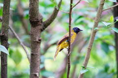 Black-headed Bulbul. On the branch alone Royalty Free Stock Photo