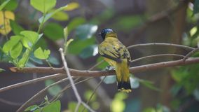 Black-headed bulbul is a member of the bulbul family, Pycnonotidae. It is found in forests in south-eastern Asia. The black-headed bulbul is a member of the stock images