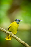 Black-headed Bulbul Royalty Free Stock Photos
