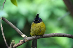 Black headed Bulbul Stock Images