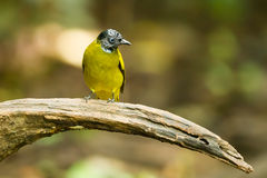Black-headed Bulbul Stock Photos
