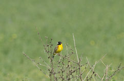 Black Headed Bunting. Male Black Headed Bunting perched on a bush, against green meadow Royalty Free Stock Photos