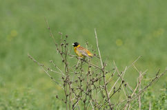 Black Headed Bunting. Male Black Headed Bunting perched on a bush, against green meadow Royalty Free Stock Photo