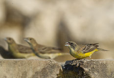 Black-headed Bunting Royalty Free Stock Photo