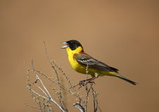 Black-headed bunting Stock Image