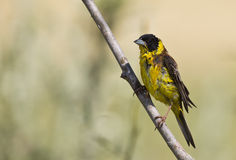 Black-headed Bunting Drying Himself Stock Images
