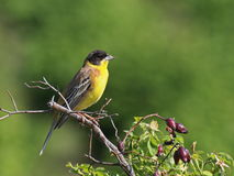 Black-headed Bunting, Emberiza melanocephala Royalty Free Stock Photo