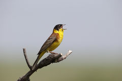 Black-headed bunting, Emberiza melanocephala Royalty Free Stock Image