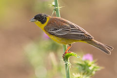 Black-headed Bunting Stock Photography