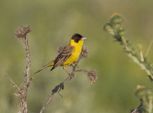 Black-headed Bunting male sitting on a branch. Stock Image
