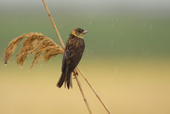 Black headed bunting standing in rain Stock Photos